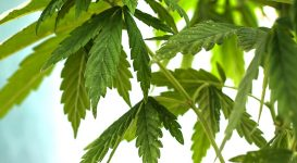 Trying Cannabis for Fibromyalgia Pain